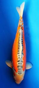 0148-Nirwana koi Jkt-shusui-58 cm