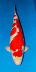 0250-Kohaku 75 cm