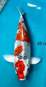 0028-Rudy Choirudin, Jakarta, House Of Koi, Gosiki 48 cm, m