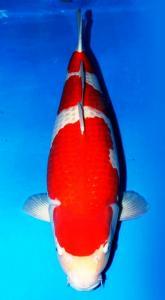 0249-Kohaku 64 cm