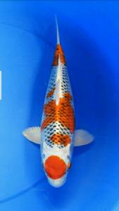 0196-Ahmad fauzi-tulungagung-takc-tulungagung-hikari moyomono-35cm-betina-081223055053