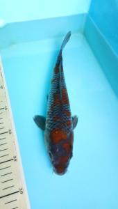 0353-Heri Wahyudi-Tuban-TbKC-Tuban-Kawarimono-30 cm-male