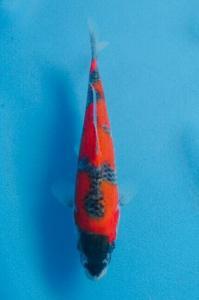 0413-DADAN HAPDIJAYA-TASIK-stars koi bdg-gosiki 13 cm