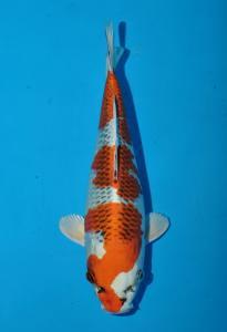0938-tropikal koi centre-bandung-tropikal koi centre-bandung-kujaku-28cm-female