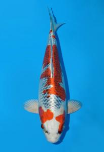 0939-tropikal koi centre-bandung-tropikal koi centre-bandung-kujaku-35cm-female