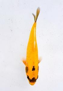 0372-Andi novkoi-tangerang-kipli sanke-sukabumi-kawari mono-15cm-male